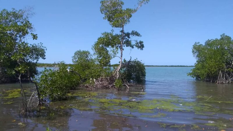 Grand'Anse : cri d'alarme face au risque de disparition des mangroves